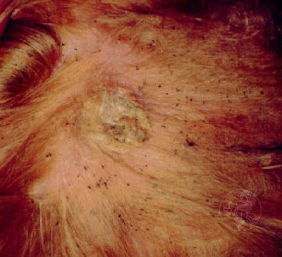 cutaneous lymphoma dog