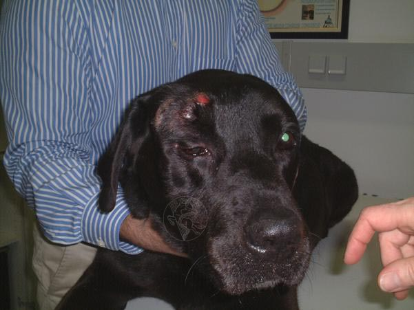 Supraorbital mast cell tumour – dog