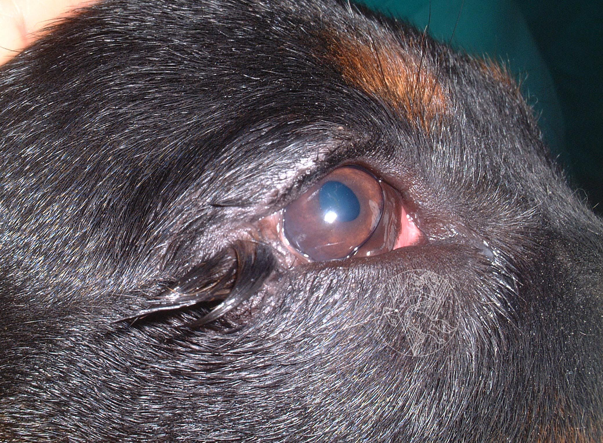 Bump Near Dog S Eye