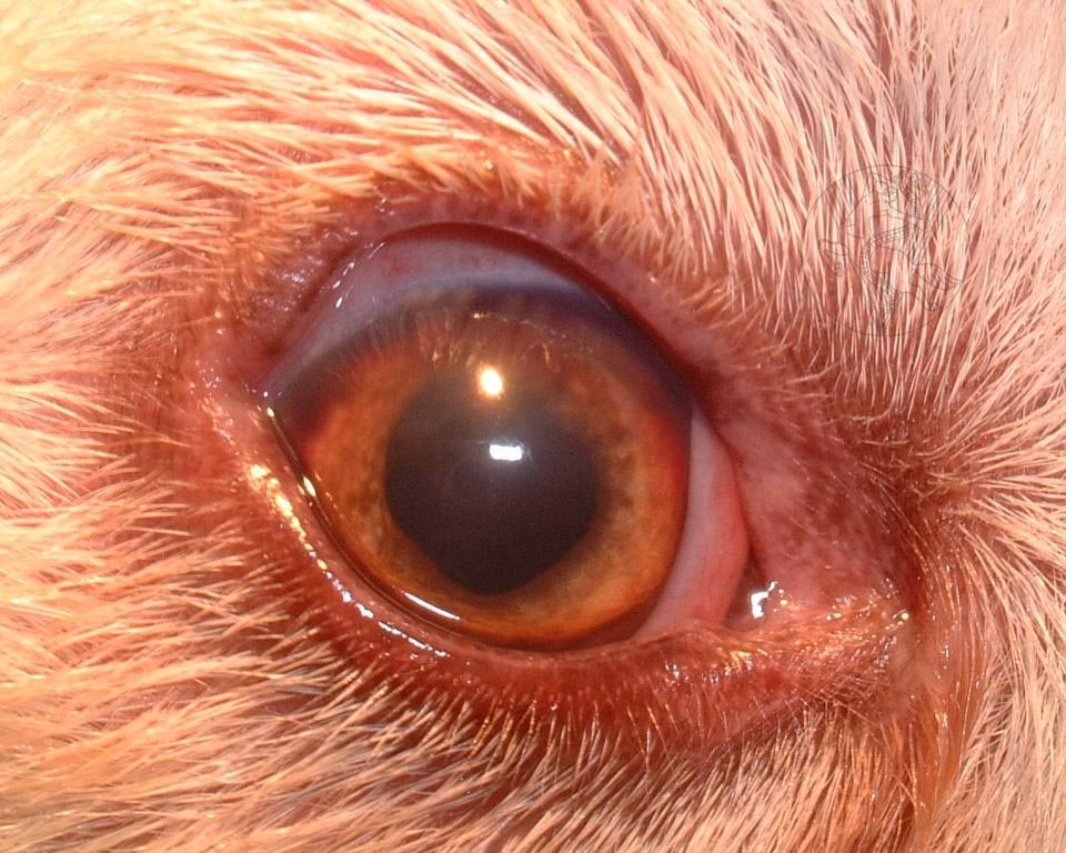 Uveitis Pictures In Dogs