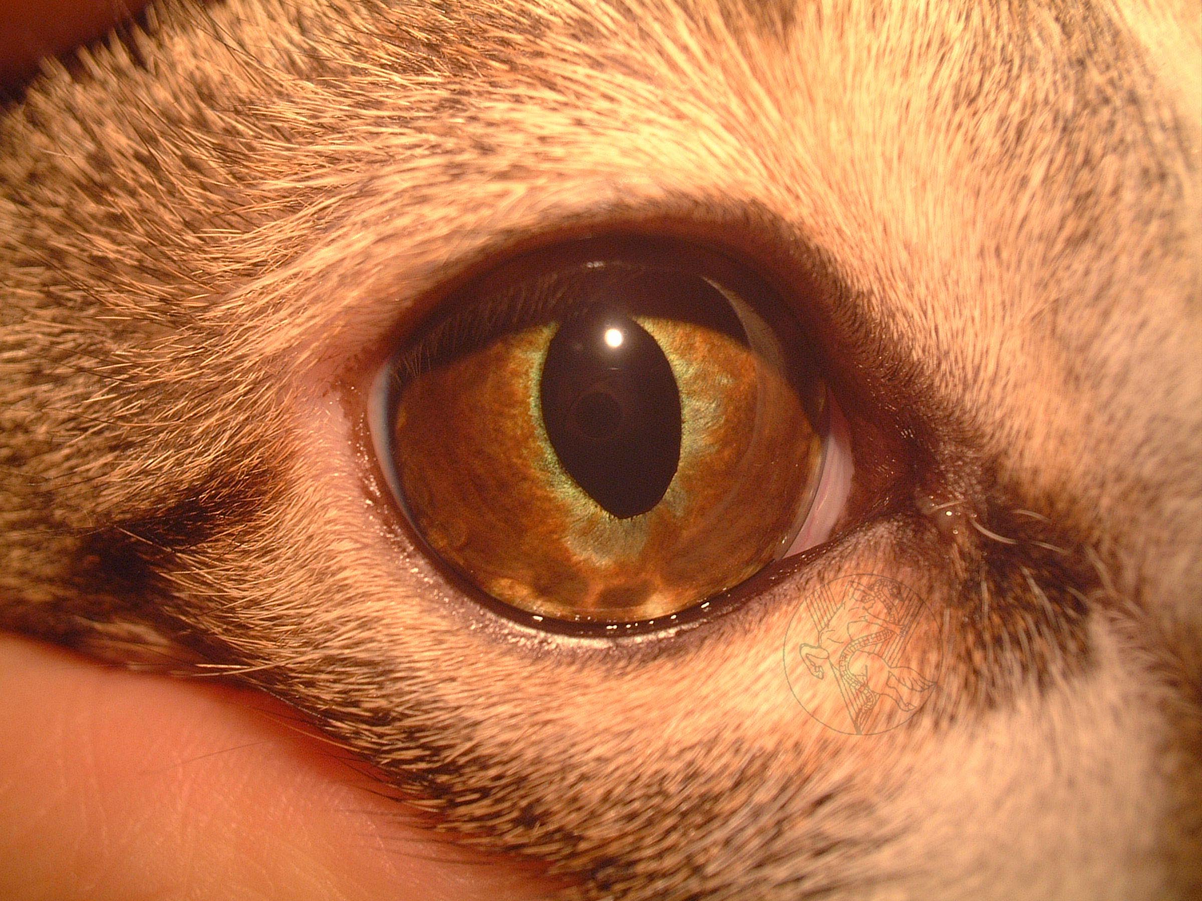 Melanoma Of The Eye Cat