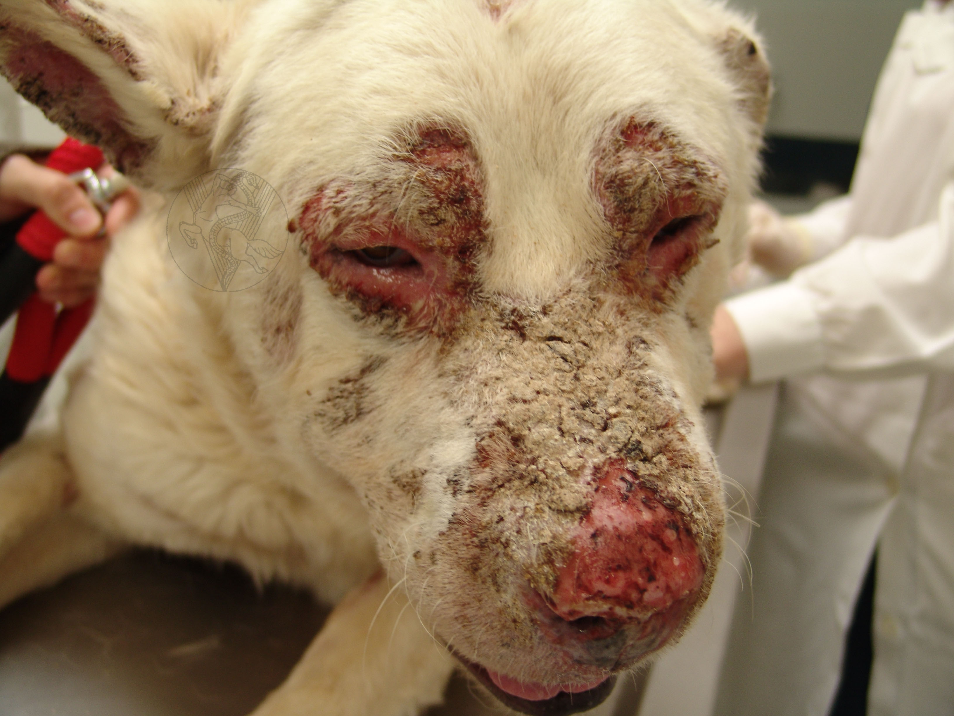 Pemphigus In Dogs Pictures