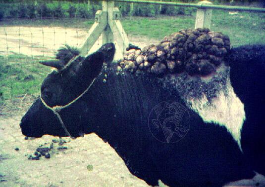 papillomas cows